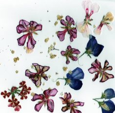 spring petals002